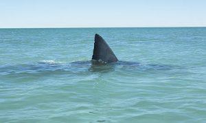 SharkFin